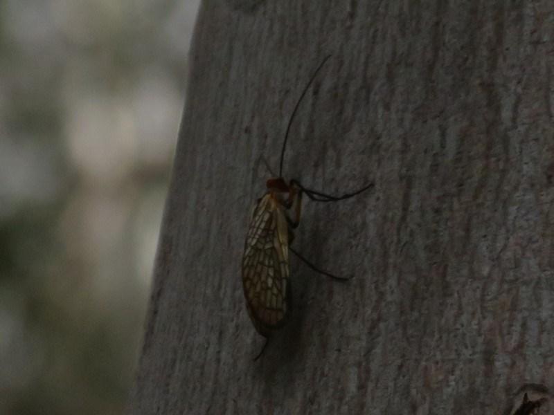 Chorista australis at Tidbinbilla Nature Reserve - 26 May 2020
