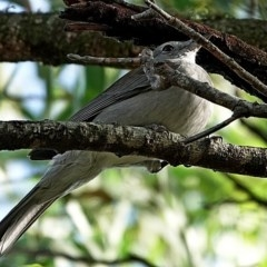 Colluricincla harmonica (Grey Shrike-thrush) at Brogo, NSW - 26 May 2020 by MaxCampbell