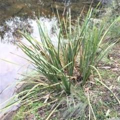 Lomandra longifolia (Spiny-headed Mat-rush, Honey Reed) at Kowen, ACT - 27 May 2020 by JaneR