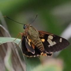 Trapezites phigalia (TBC) at Meroo National Park - 21 Mar 2020 by jbromilow50