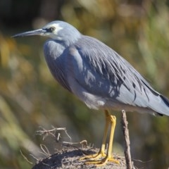 Egretta novaehollandiae (White-faced Heron) at Jerrabomberra Wetlands - 24 May 2020 by Tim L