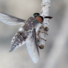 Trichophthalma sp. (Nemestrinid fly) at Rosedale, NSW - 17 Jan 2020 by jbromilow50