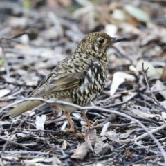 Zoothera lunulata (Bassian Thrush) at ANBG - 28 May 2020 by Alison Milton