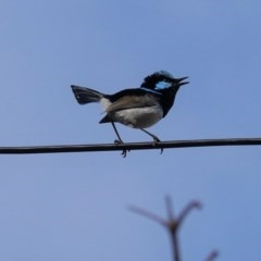 Malurus cyaneus (Superb Fairywren) at Hughes, ACT - 27 May 2020 by JackyF