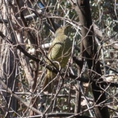 Ptilonorhynchus violaceus (Satin Bowerbird) at Red Hill Nature Reserve - 29 May 2020 by JackyF
