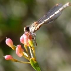 Austrolestes leda (Wandering Ringtail) at Kama - 29 May 2020 by Kurt