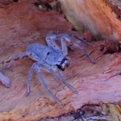 Isopeda sp. (genus) (Huntsman Spider) at Kama - 29 May 2020 by Kurt