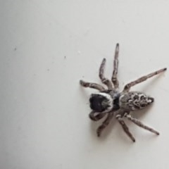 Hypoblemum griseum (A jumping spider) at Lyneham, ACT - 29 May 2020 by tpreston