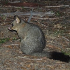 Trichosurus vulpecula (Common Brushtail Possum) at Conder, ACT - 27 May 2020 by michaelb