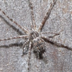 Tamopsis sp. (genus) (Two-tailed spider) at ANBG - 29 May 2020 by TimL