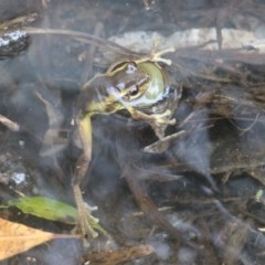 Unidentified Reptile and Frog (TBC) at Currowan, NSW - 10 Feb 2020 by UserCqoIFqhZ