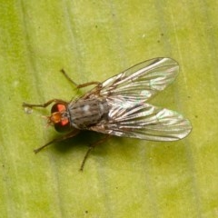 Pygophora sp. (genus) (A muscid fly) at ANBG - 29 May 2020 by rawshorty
