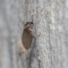 Psychodidae sp. (family) (Moth Fly, Drain Fly) at ANBG - 29 May 2020 by rawshorty