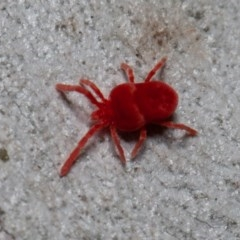 Trombidiidae sp. (family) (Red velvet mite) at ANBG - 29 May 2020 by rawshorty