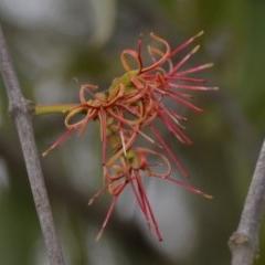 Amyema miquelii (Box Mistletoe) at Wamboin, NSW - 20 Apr 2020 by natureguy