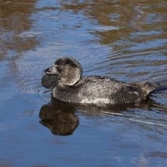 Biziura lobata (Musk Duck) at Tidbinbilla Nature Reserve - 30 May 2020 by JackyF
