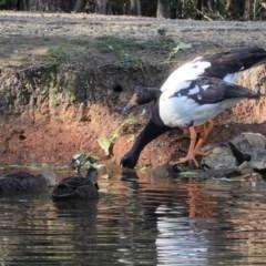 Anseranas semipalmata (Magpie Goose) at Tidbinbilla Nature Reserve - 30 May 2020 by JackyF