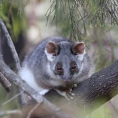 Pseudocheirus peregrinus (Common Ringtail Possum) at ANBG - 29 May 2020 by Lindell