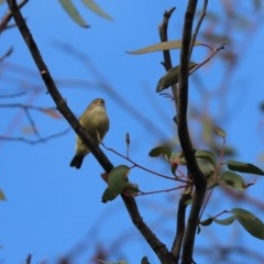 Smicrornis brevirostris (Weebill) at Mount Painter - 27 May 2020 by Tammy
