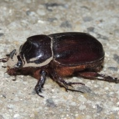 Dasygnathus trituberculatus (Rhinoceros beetle) at Conder, ACT - 2 Mar 2020 by michaelb