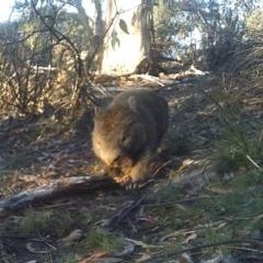 Vombatus ursinus (Wombat) at Namadgi National Park - 28 May 2020 by ChrisHolder