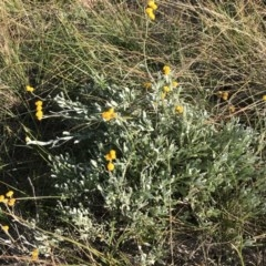 Chrysocephalum apiculatum (Common Everlasting) at Bass Gardens Park, Griffith - 30 May 2020 by ianandlibby1