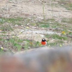 Petroica boodang (Scarlet Robin) at Red Hill Nature Reserve - 31 May 2020 by tom.tomward@gmail.com