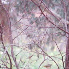 Pyrrholaemus sagittatus (Speckled Warbler) at Red Hill Nature Reserve - 31 May 2020 by tom.tomward@gmail.com