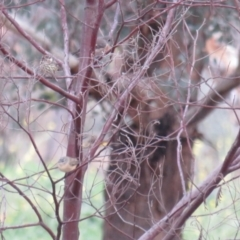 Pyrrholaemus sagittatus at Red Hill Nature Reserve - 31 May 2020