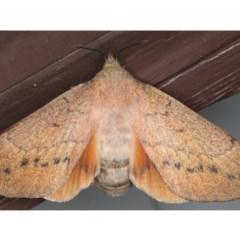 Entometa apicalis (Gum Snout Moth) at Lilli Pilli, NSW - 28 May 2020 by jbromilow50
