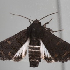 Pataeta carbo (Eutelid Moth) at Lilli Pilli, NSW - 28 May 2020 by jbromilow50