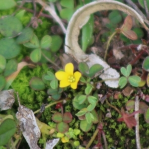 Oxalis sp. at suppressed - 31 May 2020