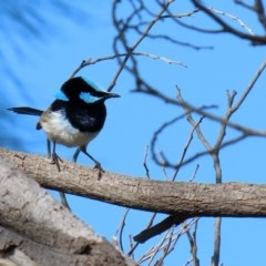 Malurus cyaneus (Superb Fairywren) at Jerrabomberra Wetlands - 29 May 2020 by RodDeb