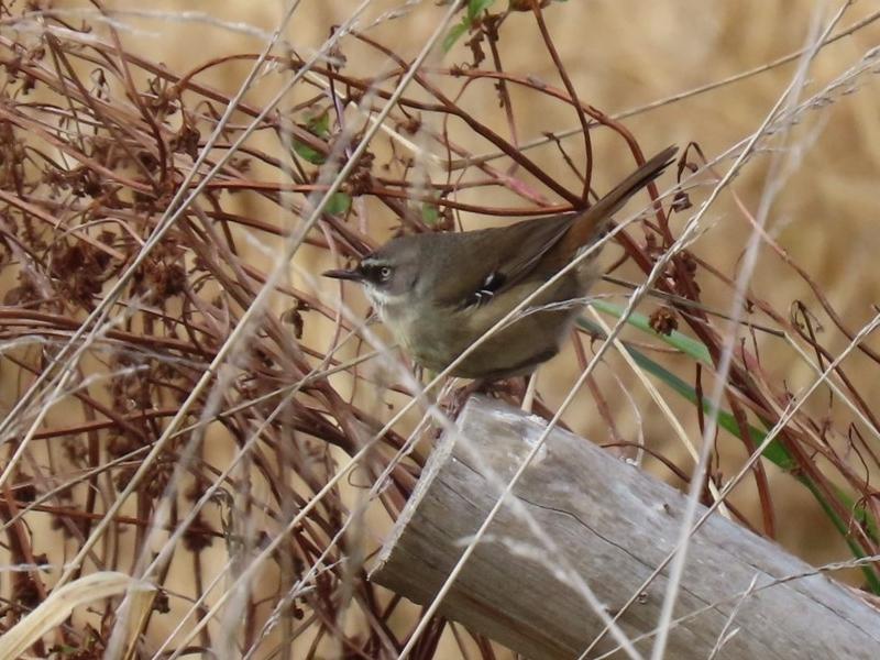 Sericornis frontalis at Jerrabomberra Wetlands - 29 May 2020
