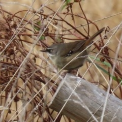 Sericornis frontalis (White-browed Scrubwren) at Jerrabomberra Wetlands - 29 May 2020 by RodDeb