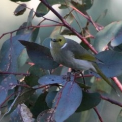 Ptilotula penicillata (White-plumed Honeyeater) at Jerrabomberra Wetlands - 29 May 2020 by RodDeb