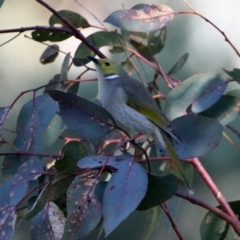 Ptilotula penicillata at Jerrabomberra Wetlands - 29 May 2020