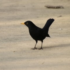 Turdus merula (Common Blackbird) at Molonglo Valley, ACT - 30 May 2020 by RodDeb