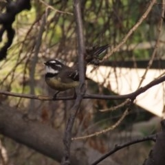 Rhipidura albiscapa (Grey Fantail) at Molonglo Valley, ACT - 30 May 2020 by RodDeb
