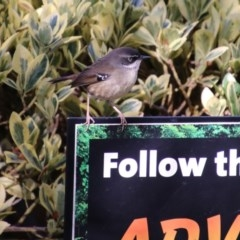 Sericornis frontalis (White-browed Scrubwren) at Molonglo Valley, ACT - 30 May 2020 by RodDeb