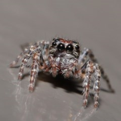 Salticidae (family) (Unidentified Jumping spider) at ANBG - 29 May 2020 by TimL