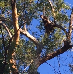 Tree hollows at Mogo State Forest - 31 May 2020 by nickhopkins