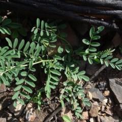 Indigofera australis subsp. australis (Austral Indigo) at Yowrie, NSW - 28 May 2020 by JackieMiles