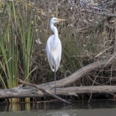Ardea alba (Great Egret) at Giralang, ACT - 25 May 2020 by Alison Milton