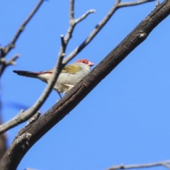 Neochmia temporalis (Red-browed Finch) at Lake Ginninderra - 25 May 2020 by Alison Milton