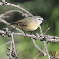 Acanthiza chrysorrhoa (Yellow-rumped Thornbill) at Giralang, ACT - 25 May 2020 by Alison Milton