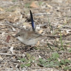 Malurus cyaneus (Superb Fairywren) at Giralang, ACT - 25 May 2020 by Alison Milton