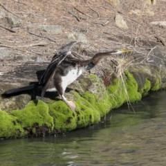 Anhinga novaehollandiae (Australasian Darter) at Evatt, ACT - 25 May 2020 by Alison Milton