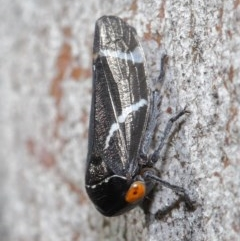 Eurymeloides bicincta (Gumtree hopper) at ANBG - 29 May 2020 by TimL