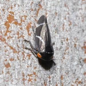 Eurymeloides bicincta at ANBG - 29 May 2020